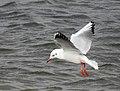 Skrattmås Black-headed Gull (31145615131).jpg