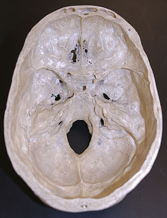 Groove for transverse sinus - Image: Skull inner surface