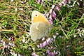 Small heath (NH) (8120450722).jpg
