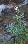 Small rangers buttons by creek Sphenosciadium capitellatum.jpg