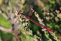 Small red damselfly (Ceriagrion tenellum) male Crockford Stream 2.jpg