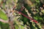 Small red damselfly (Ceriagrion tenellum) male Crockford Stream 2.jpg