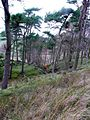 Small stand of Scots Pines - geograph.org.uk - 608444.jpg