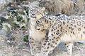 Snow Leopards Cuddling (13883241714).jpg