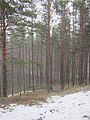 Snow pellet fall near Tolkuse hikingtrail - panoramio.jpg