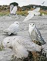 Snowy owl From The Crossley ID Guide Eastern Birds.jpg