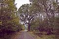 Sodeiche im Forst Rundshorn IMG 1428.jpg