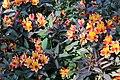 Sofiero (Helsingborg), perennial in flower garden.JPG