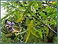 Solanum aviculare 1.jpg