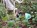 Solanum mauritianum Scop. (AM AK297312-2).jpg