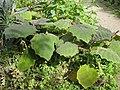Solanum quitoense - Gardenology.org-IMG 0627 bbg09.jpg