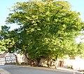 Sommerlinde in Himmelsberg.jpg