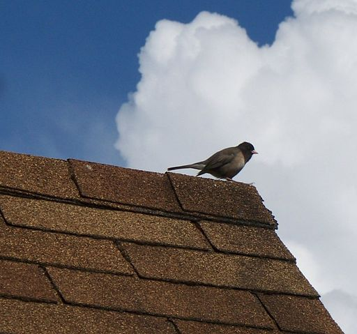 Song bird perched on asphalt shingle roof