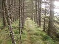 Sort of path through larch trees - geograph.org.uk - 1500366.jpg