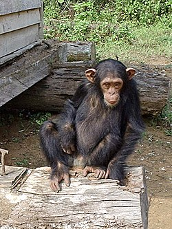 Genetic testing has shown that humans and chimpanzees have most of their DNA in common. In a study of 90,000 base pairs, Wayne State University's Morris Goodman found humans and chimpanzees share 99.4% of their DNA.[2] [3].
