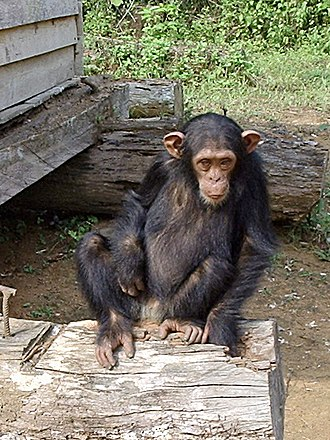 South Region (Cameroon) - Orphaned chimpanzee near Djoum