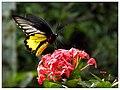 Southern Birdwing (Troides minos) (15072122558).jpg