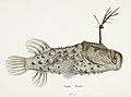 Southern Pacific fishes illustrations by F.E. Clarke 84.jpg