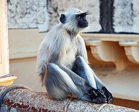 Southern Plains Gray Langurs India 1.jpg