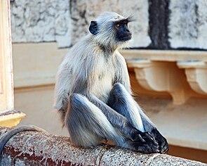 Dussumier-Hanuman-Langur