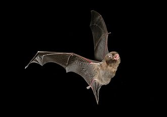 Southern bent-wing bat - Image: Southern bentwing bat
