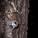 Southern flying squirrel B.jpg