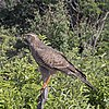 Southern pale chanting goshawk (Melierax canorus argentior) juvenile.jpg