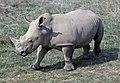 Southern white rhino (2917737794).jpg