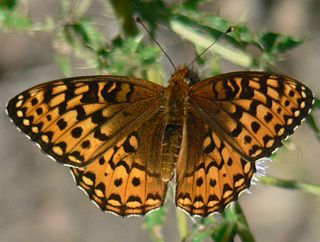 <i>Speyeria hydaspe</i> species of butterfly