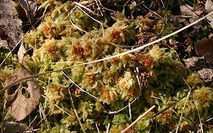 Sphagnum fuscum - Sphagnum fuscum