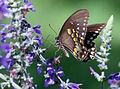 Spicebush Swallowtail 0709.jpg