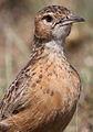 Spike-heeled lark, Chersomanes albofasciata, at Suikerbosrand Nature Reserve, Gauteng, South Africa (22456425590).jpg