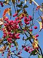 Spindle tree (Euonymus europaeus), Tisbury - geograph.org.uk - 1494000.jpg