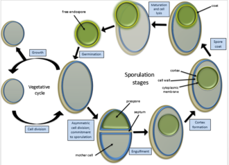 Endospore - Endospore formation and cycle