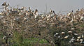 Spot-billed Pelicans, Black-headed Ibises & Painted Storks nesting at Garapadu, AP W IMG 5197.jpg
