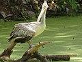 Spot Billed Pelican In Mysore.jpg
