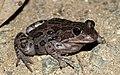 Spotted Marsh Frog (Limnodynastes tasmaniensis) (8612410205).jpg