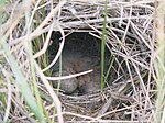 Spragues Pipit nest with young.jpg