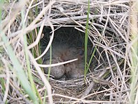 Spragues Pipit nest with young