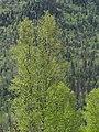Spring Birch (3559679751).jpg