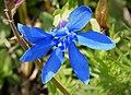 Spring Gentian. Gentiana verna ssp. balcanica (44468197255).jpg