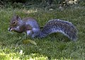 Squirrel (3915430186).jpg
