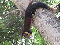 Squirrel eat fruit.jpg