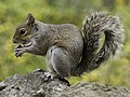 Squirrel holding nut.jpg