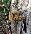 Squirrel monkey- Bonnet House, Fort Lauderdale, Florida (6748464269).jpg