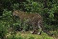 Sri-lankan-leopard-yala-casey-klebba.jpg
