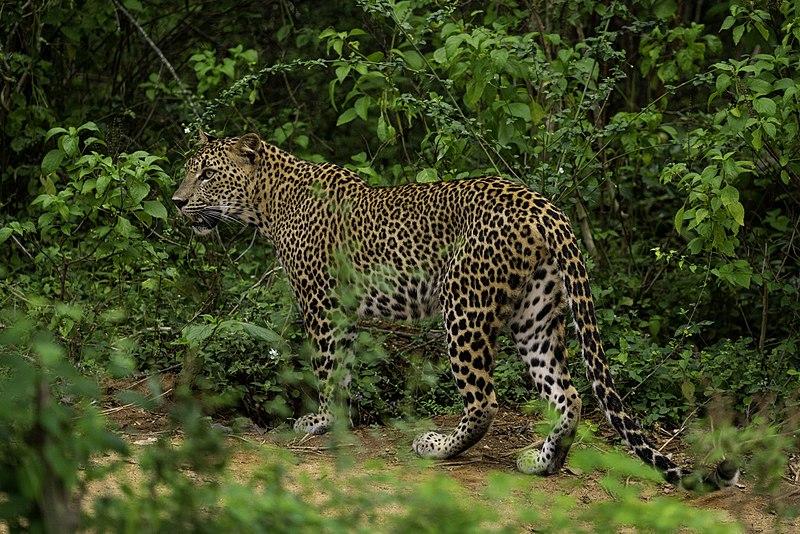 File:Sri-lankan-leopard-yala-casey-klebba.jpg