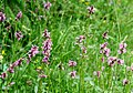 Stachys officinalis ENBLA05.jpg