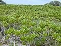 Starr-010520-0070-Scaevola taccada-habit-Inland-Kure Atoll (24165002209).jpg