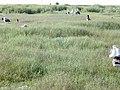 Starr-010520-0105-Cynodon dactylon-habit-Antenna monument-Kure Atoll (24165044169).jpg